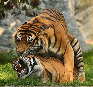 Plava tableta pomaže preživjeti tigrovi